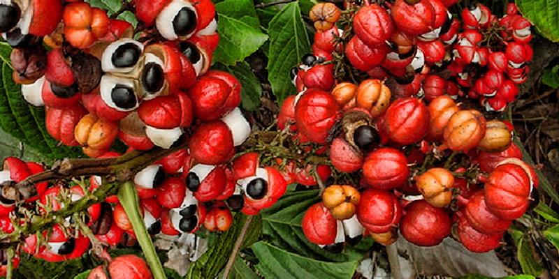 guarana caffeine