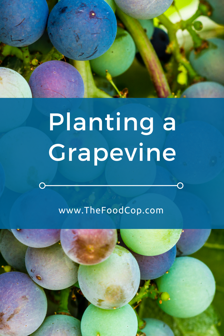 grapevine | planting a grapevine | how to grow grapes | The Food Cop
