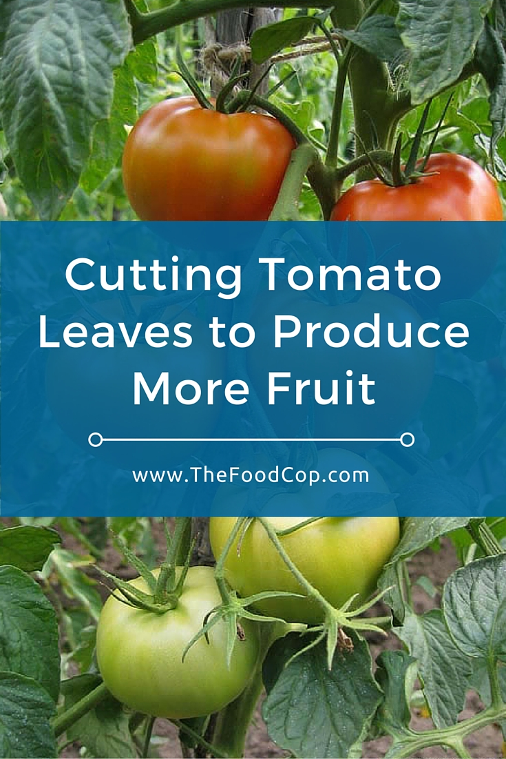 Cutting Tomato Leaves to Produce More Fruit | growing tomatoes | tomato plant | tomatoes
